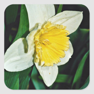 Narciso flores perennes resistentes colcomanias cuadradass