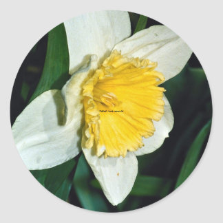 Narciso perennial resistente etiquetas