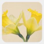 Narcisos amarillos calcomanía cuadradas
