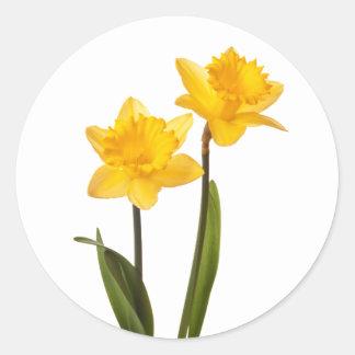 Narcisos amarillos de la primavera en blanco pegatina redonda