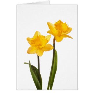 Narcisos amarillos de la primavera en blanco felicitacion