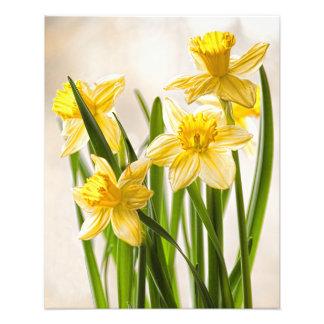 Narcisos amarillos de la primavera impresion fotografica