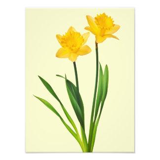 Narcisos amarillos de la primavera - plantilla del fotografía