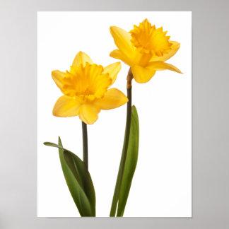 Narcisos amarillos en el blanco - espacio en blanc póster