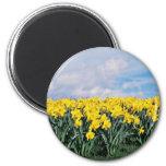 Narcisos de la primavera, Shrewsbury, Shropshire,  Iman De Nevera