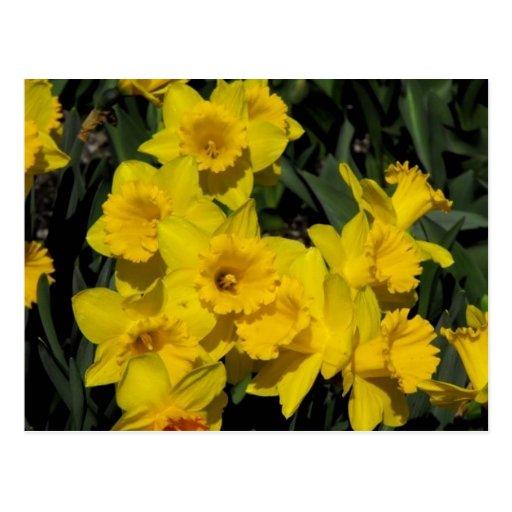 narcisos en el tiempo de primavera 2 postales