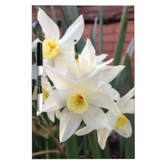 Narcisos en la floración tablero blanco