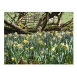 Narcisos en una postal del día de primavera