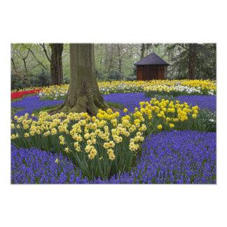 Narcisos, jacinto de uva, y jardín del tulipán, cojinete