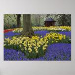 Narcisos, jacinto de uva, y jardín del tulipán, poster