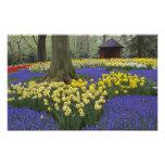 Narcisos, jacinto de uva, y jardín del tulipán, foto