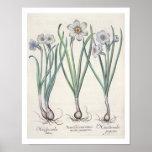 Narcisos: purpureus del medio del maximus 1.Narcis Poster