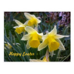 Narcisos salvajes postales
