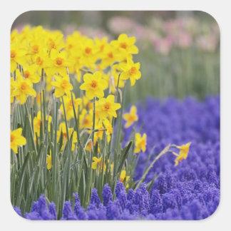 Narcisos y jacinto de uva, Keukenhof 3 Pegatina Cuadrada
