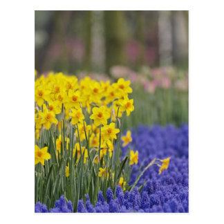 Narcisos y jacinto de uva, Keukenhof Tarjetas Postales