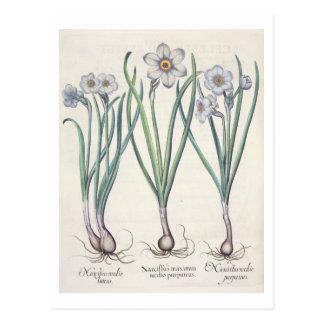 Narcissi: 1.Narcissus maximus medio purpureus; 2.N Postcard