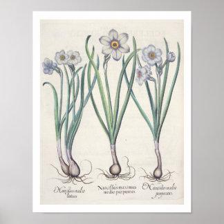 Narcissi: 1.Narcissus maximus medio purpureus; 2.N Poster