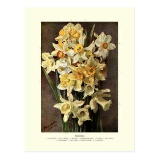 Narcissi Postcard