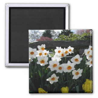 Narcissus and Wooden Fence 2 Inch Square Magnet