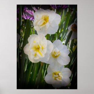 Narcissus Daffodils zazzle_print