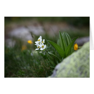 Narcissus-flowered anemone (Anemone narcissiflora) Card