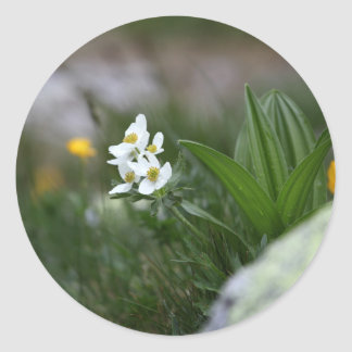 Narcissus-flowered anemone (Anemone narcissiflora) Classic Round Sticker