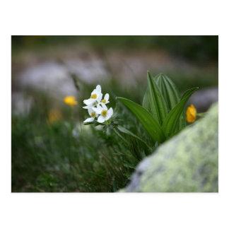 Narcissus-flowered anemone (Anemone narcissiflora) Postcard