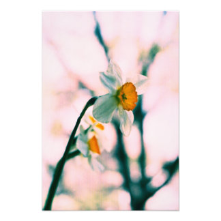 Narcissus Flowers - gentle white and yellow photog Photo Print