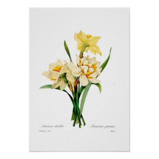 Narcissus gouani print