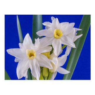 Narcissus Spring Postcard
