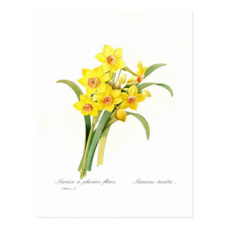 Narcissus tazetta postcard