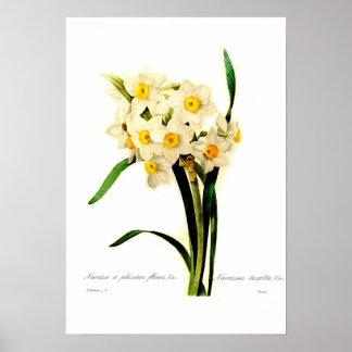 Narcissus tazetta var. poster