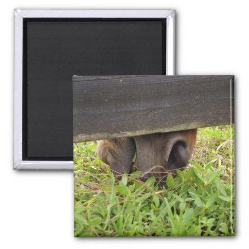 Nariz del caballo que pasta debajo de la cerca imán de frigorífico