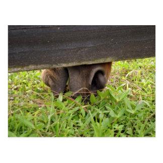 Nariz del caballo que pasta debajo de la cerca postal
