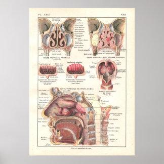 Nariz y poster de la anatomía de los sinos en fran