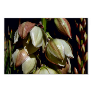 Narrow-leaf Yucca Posters