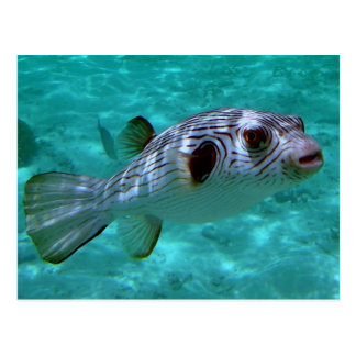 Narrow-lined Puffer Fish Post Cards