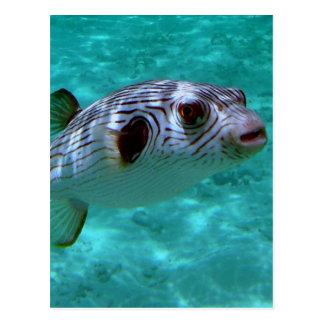 Narrow-lined Puffer Fish Postcard