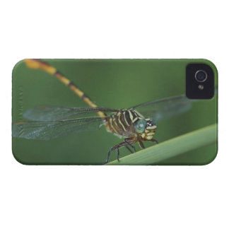 Narrow-striped Forceptail, Aphylla protracta, iPhone 4 Case