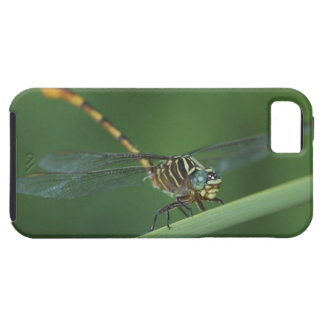 Narrow-striped Forceptail, Aphylla protracta, iPhone 5 Cover
