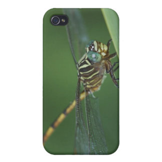 Narrow-striped Forceptail, Aphylla protracta, Cover For iPhone 4