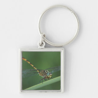 Narrow-striped Forceptail, Aphylla protracta, Silver-Colored Square Keychain