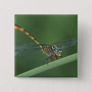 Narrow-striped Forceptail, Aphylla protracta, Pinback Button