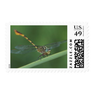 Narrow-striped Forceptail, Aphylla protracta, Postage