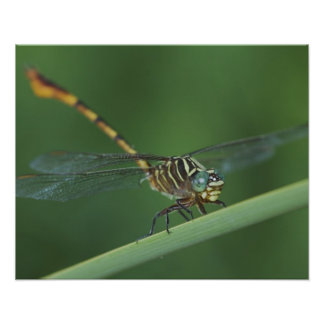 Narrow-striped Forceptail, Aphylla protracta, Poster