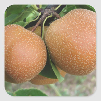 Nashi pears hanging on the tree square sticker