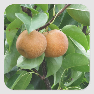 Nashi pears hanging on tree square sticker