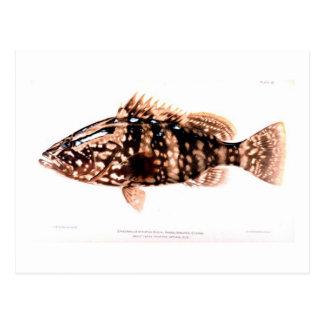 Nassau Grouper Postcard