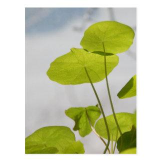 Nasturtium Leaves Postcard