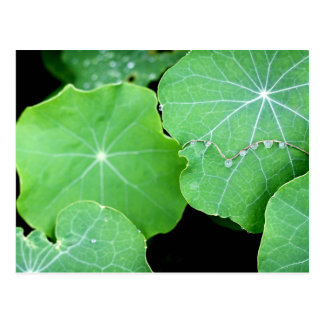 Nasturtium Leaves with Water Drops Postcard